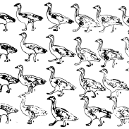 bar-head-goose-walk-frame-by-frame-animation-elephant-room-studio-sea-birds