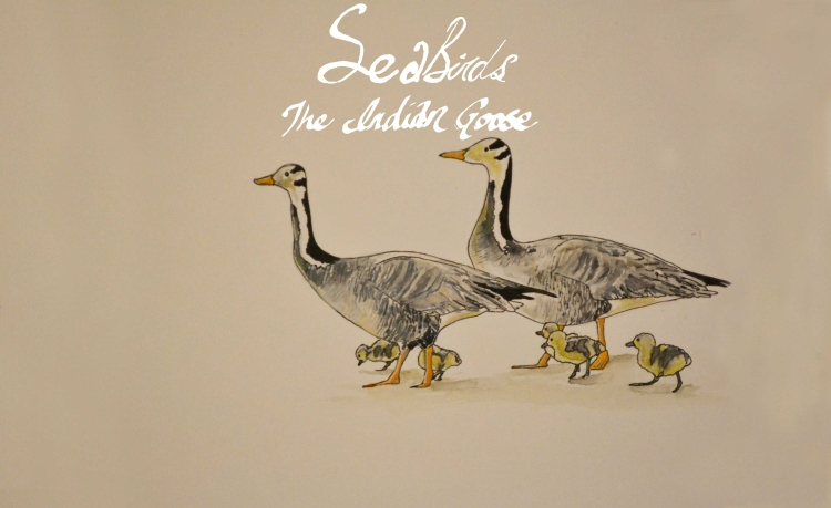 Sea-Birds-Animation-Bar-Headed-Goose-Gosling-Family-wide-the-indian-goose.-web
